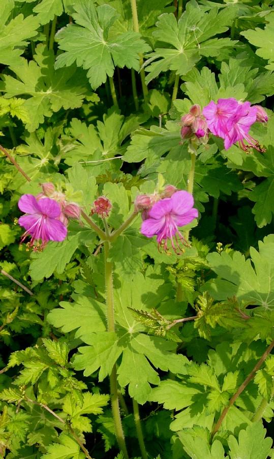 geranium macrorrhizum czakor i