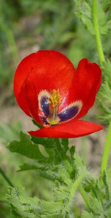 Großer Mohn (Rot, Rot, Rot)