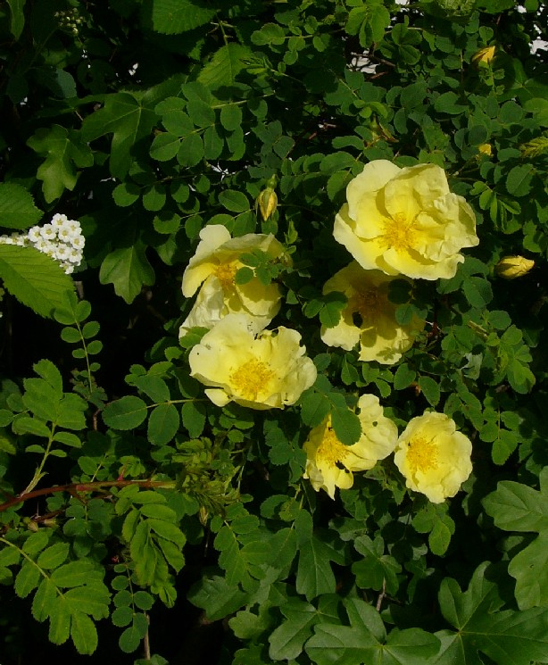 Rosa Gelb